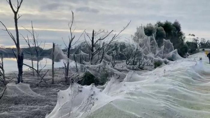 Австралию окутали массивные паутины (фото)