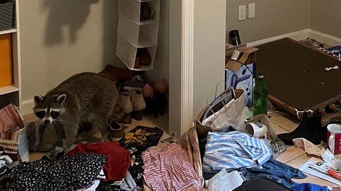 Еноты свалились с потолка и разгромили спальню