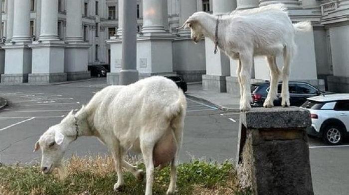 В Киеве у здания МИД паслись козы