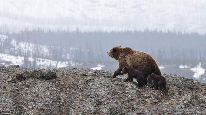 На Аляске спасли мужчину, который неделю отбивался от медведя