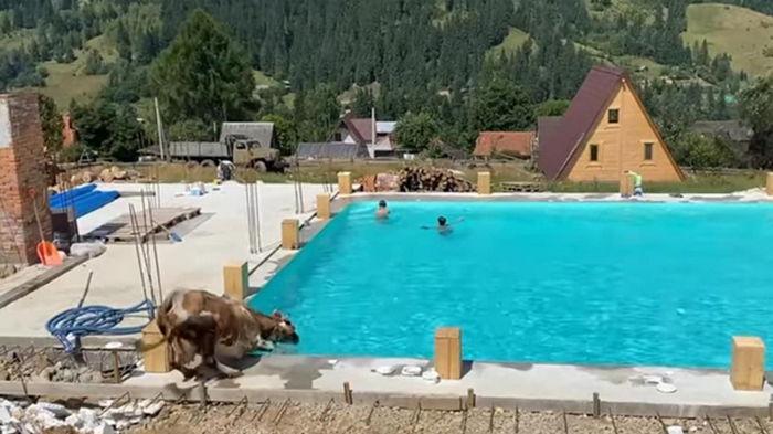 В Карпатах корова искупалась в бассейне (видео)