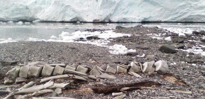 Кит эпохи викингов. Ученые узнали возраст скелета в Антарктиде возле Вернадского (фото)