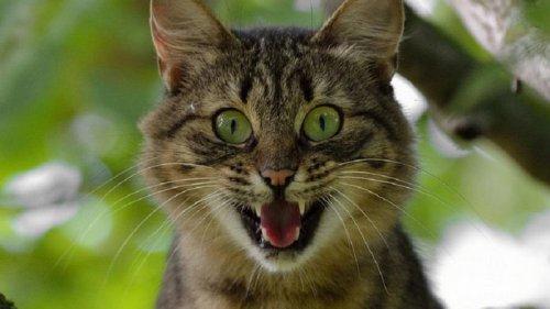 Ученые рассказали, почему домашние кошки не могут рычать