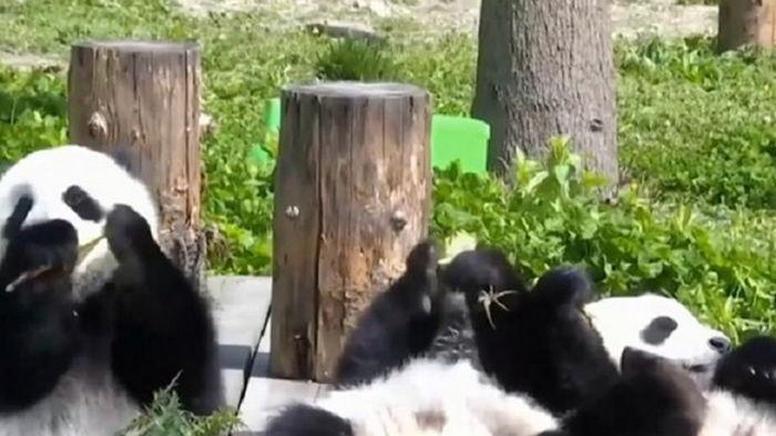 В мире за год возник бэби-бум среди панд (видео)
