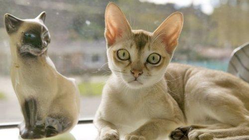 Вечный котенок. Названа самая маленькая порода кошек в мире